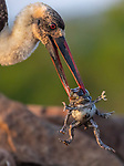 MAIN IMAGES:  A stork gets more than it bargained for as it picks up two toads with its beak.  The woolly-necked stork was hunting for its breakfast when it grabbed the red toads while they were mating in water.<br /> <br /> These shots were captured in the Zimanga Private Game Reserve in South Africa by amateur photographer Jacob Bahar, 55.  SEE OUR COPY FOR DETAILS.<br /> <br /> Please byline: Jacob Bahar/Solent News<br /> <br /> © Jacob Bahar/Solent News & Photo Agency<br /> UK +44 (0) 2380 458800