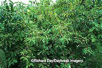 63808-01411 Silky Dogwood (Cornus amomum) with fruit Marion Co.   IL