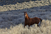 Wyoming Mustang, evening light