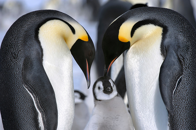 ANTARCTICA, WEDDELL SEA, SNOW HILL ISLAND, EMPEROR PENGUIN COLONY Aptenodytes forsteri, ADULTS WITH CHICK ON FAST ICE
