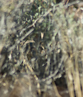 Desert cottontail, Sylvilagus audubonii, Red Rock Canyon State Park, California