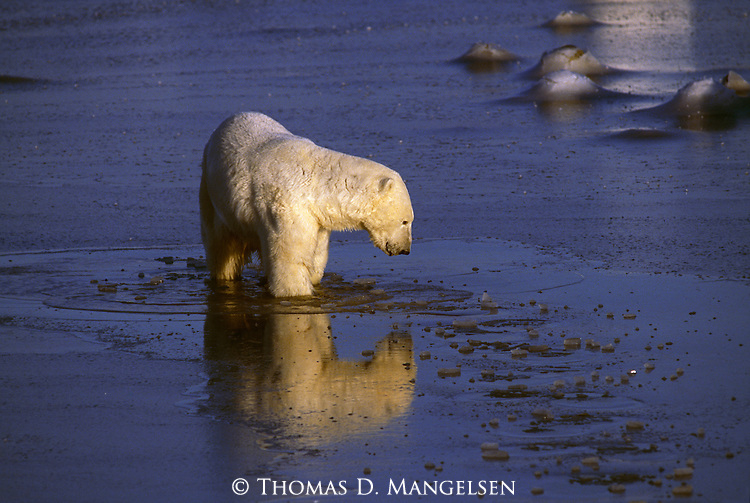 A polar bear stands in icy water--its reflection mirrored in the clear water.
