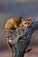 675906034 a captive ringtail or ringtail cat bassariscus astutus lays on a tree stump in the hills of central montana