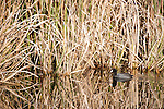 Columbia Ranch, Brazoria County, Damon, Texas; an American Coot reflecting in the water's surface at the edge of the reeds in a pond