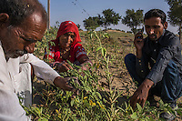 Guar farmers Pemaram Jangu, 70, his wife Jhuma Jangu, 65, and their son, Jagdish Jangu, 38, inspect the health of their crop in their field in Hameira village, Bikaner, Rajasthan, India on October 23, 2016. Non-Profit Organisation Technoserve works with Guar farmers in Bikaner to provide technical farming knowledge to them, improving their crop yield through good agricultural practices. Photograph by Suzanne Lee for Technoserve