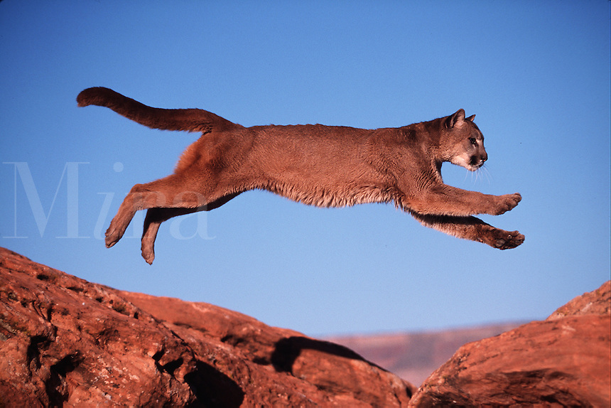 A mountain lion in action as it leaps between rocks. Utah.