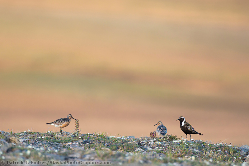 Red knot and American golden plover, Archimedes ridge, Utukok Uplands, National Petroleum Reserve, Alaska.