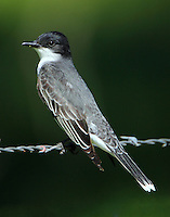 Eastern kingbird adult
