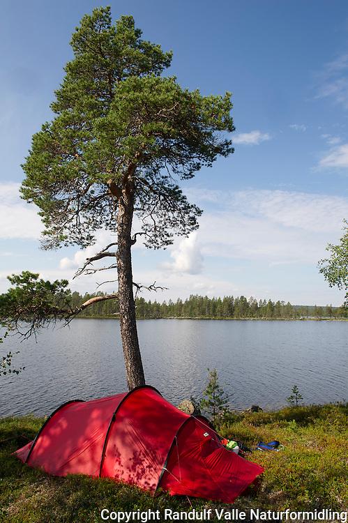 Telt under furu på en holme i Pasvik. ---- Tent under pine tree.
