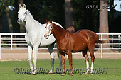 Bob, ANIMALS, REALISTISCHE TIERE, ANIMALES REALISTICOS, horses, photos+++++,GBLA4412,#a#, EVERYDAY