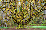 A massive bigleaf maple (Acer macrophyllum) resembles a candelabra, Olympic Peninsula, Washington, USA<br /> <br /> Sony DSLR-A900, 24-70mm F2.8 ZA SSM lens, f/16 for 1.6 seconds, ISO 100