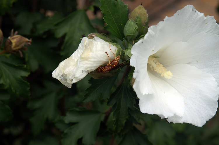 The wilting flowers of the Rose of Sharon attract insects to eat the petals.  A wasp is enjoying a snack.