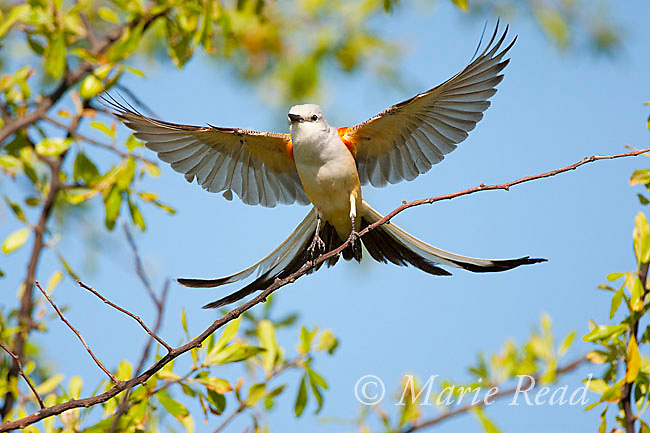 Scissor-tailed Flycatcher (Tyrannus forficatus) landing on branch with wings and tail outspread, Wichita Mountains NWR, Oklahoma, USA