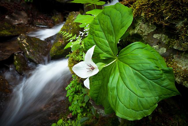 Sweet White Trillium (Trillium simile) and Cascade
