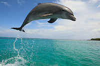qk40154-D. Bottlenose Dolphin (Tursiops truncatus). Honduras, Caribbean Sea..Photo Copyright © Brandon Cole. All rights reserved worldwide.  www.brandoncole.com..This photo is NOT free. It is NOT in the public domain. This photo is a Copyrighted Work, registered with the US Copyright Office. .Rights to reproduction of photograph granted only upon payment in full of agreed upon licensing fee. Any use of this photo prior to such payment is an infringement of copyright and punishable by fines up to  $150,000 USD...Brandon Cole.MARINE PHOTOGRAPHY.http://www.brandoncole.com.email: brandoncole@msn.com.4917 N. Boeing Rd..Spokane Valley, WA  99206  USA.tel: 509-535-3489