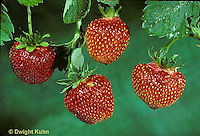 ST04-018a  Strawberries - Catskill variety