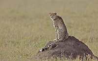 Cheetah looking back from a termite mound, backlit at sunrise, Serengeti