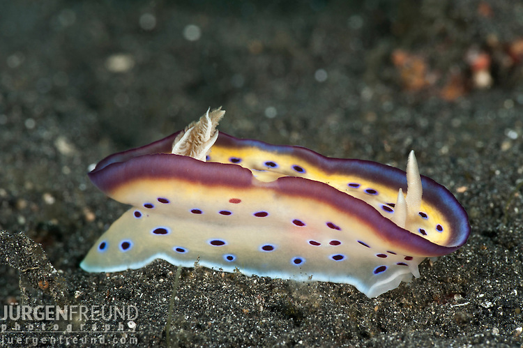 Very beautiful nudibranch (Chromodoris kuniei) on the sand.
