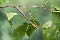 Herbst-Zackenrandspanner, Herbst-Zackenspanner, Herbstlaubspanner, Herbstlaub-Spanner, Zackenspanner, Raupe frisst an Birke, Spannerraupe, Ennomos autumnaria, Large Thorn, caterpillar, L'Ennomos moucheté, Spanner, Geometridae, looper, loopers, geometer moths, geometer moth. Tarnung, Tarntracht, Verbergetracht, Camouflage, Mimese, mimesis, Astmimese, Ästchenmimese, Ast-Mimese