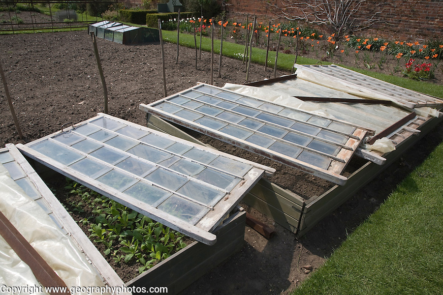 Plants being grown in glass cold frame