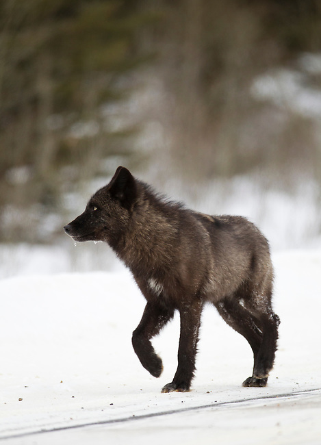 A wolf from the Bow Valley wolf family walks along a road in Banff National Park, winter 2012.  The pack, or family, consists of six wolves.  They are on the hunt for a mule deer that ran through the area just seconds before this photo was taken.  Photo By Gus Curtis.