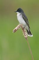 Eastern Kingbird (Tyrannus tyrannus) perching on cattail
