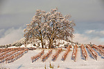 The post-storm sunlight illuminates a bare oak tree sits on top of a hill in a snow-covered vineyard at Karmère Vineyards in Amador County's Shenandoah Valley wine grape growing area, Calif.