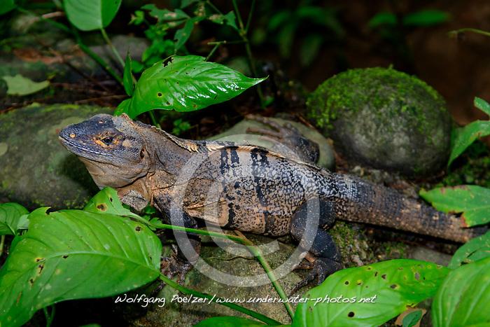 Gemeine Schwarzleguan (Ctenosaura similis), Costa Rica, Carara Nationalpark / Black Iguana (Ctenosaura similis), Costa Rica, Carara National Park