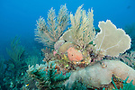 Gardens of the Queen, Cuba; colonies of encrusting Symmetrical Brain Coral (Diploria strigosa), sea rods, sponges and sea fans growing on the coral reef