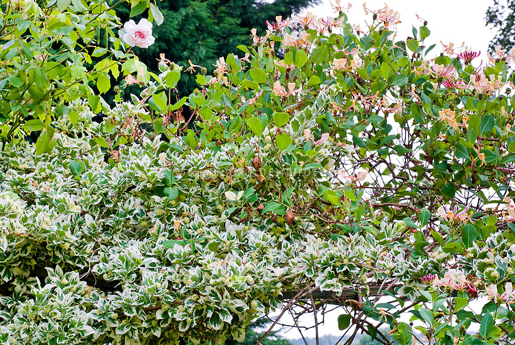 Lonicera and Euonymus fortunei Silver Queen with roses, climbing vines in shrub, evergreen Euonymus