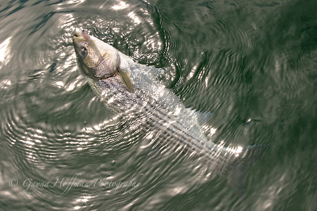 Striped Bass on hook and line at the surface of the water.