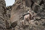 Bighorn sheep ewe with two newborn lambs on rocks. Yellowstone National Park, Wyoming.