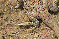 Hind foot of Colorado Desert fringe-toed lizard, Uma notata.  Algodones dunes, Imperial County, California