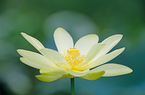American Lotus (Nelumbo lutea), blooming, Welder Wildlife Refuge, Rockport, Texas, USA