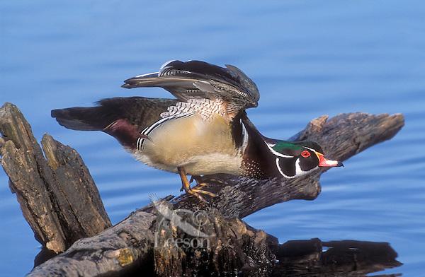 Wood Duck (Aix sponsa) drake, Spring, southern British Columbia, Canada.