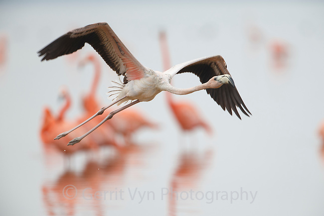 Juvenile American Flamingo (Phoenicopterus ruber) taking flight. Celestun Biosphere Reserve, Mexico. February.