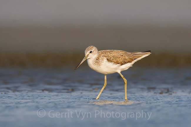 Common Greenshank (Tringa nebularia) foraging on tidal flats. Rakhine State, Myanmar. January.