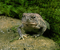 Toad, Bufo Americanus, sits alone in garden