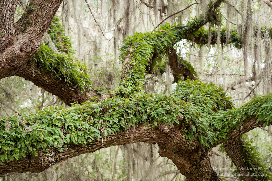 Brazoria County, Damon, Texas; ferns growing on the branches of a live oak tree on an overcast day