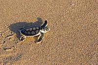 Australian flatback sea turtle hatchling, Natator depressus (c-r), endemic to Australian continental shelf, crawls down nesting beach to ocean, Torres Strait, Queensland, Australia