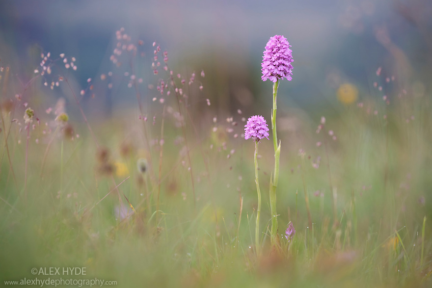 Pyramidal Orchid (Anacamptis pyramidalis) detail. Peak District National Park, Derbyshire, UK. July.