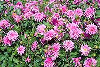 Dahlia 'Piper's Pink' (SS-c/DwB)