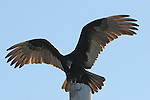 Turkey vulture spreading wings, warming up in AM.  FB-S174.<br />