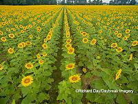 63801-11310 Sunflower field-aerial Jasper Co.  IL