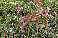 MA11-034z  White-tailed Deer - fawn camouflaged in flowered field - Odocoileus virginianus