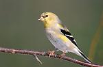 American Goldfinch, Carduelis tristis, winter plumage.