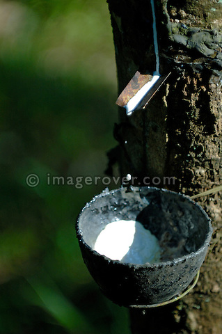 Gum from a gum tree dripping dripping into a bowl on a gum-tree plantation between Kottayam and Periyar. Kerala, India. Collecting gum in a bowl on a gum-tree plantation between Kottayam and Periyar. Kerala, India.