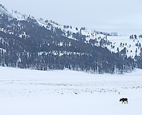 It's not too often one sees moose out in the flats of the Lamar Valley.