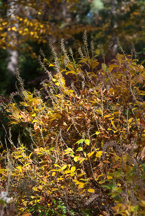 Clethra alnifolia 'Hummingbird' in autumn color and seedheads
