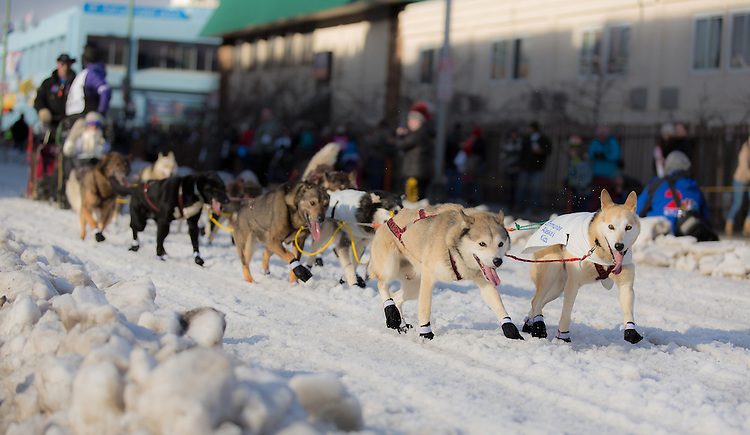 Jan Steves' dog sled team races down 4th Avenue at the ceremenial start of the 43rd Annual Iditarod in Anchorage, Alaska. The 1000 mile dog sled race usually restarts in Willow, Alaska, and finishes in Nome. Poor snowfall, however, forced the restart north to Fairbanks.